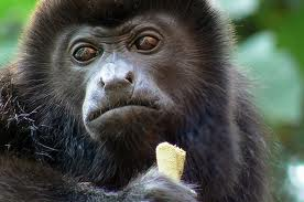 caño negro mono aullador